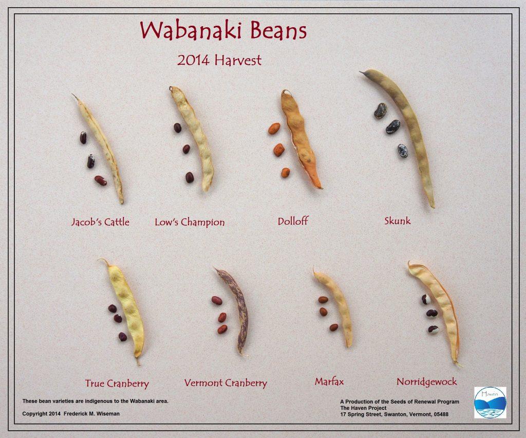 Wabanaki Beans: 2014 Harvest