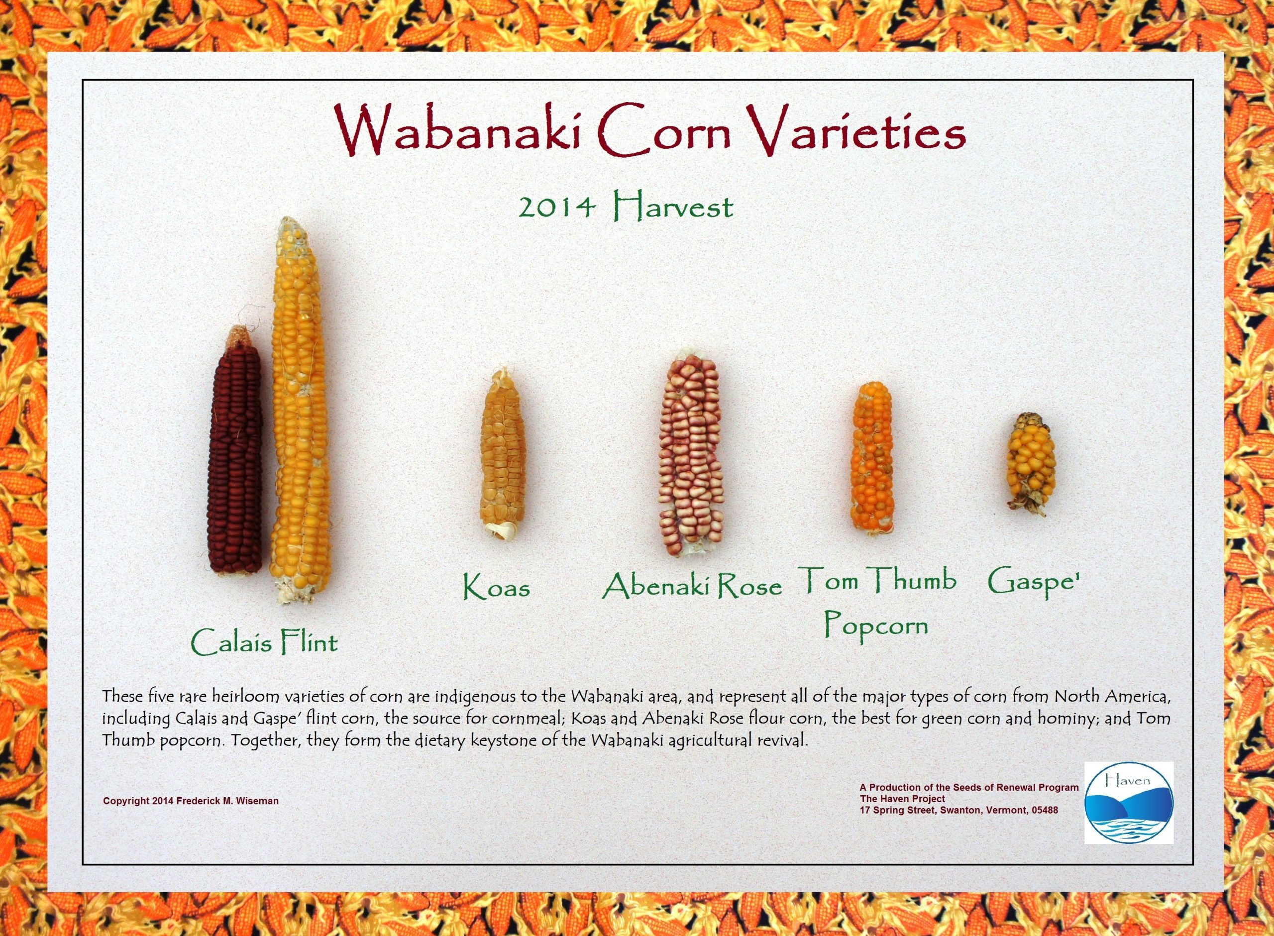Wabanaki Corn Varieties: 2014 Harvest